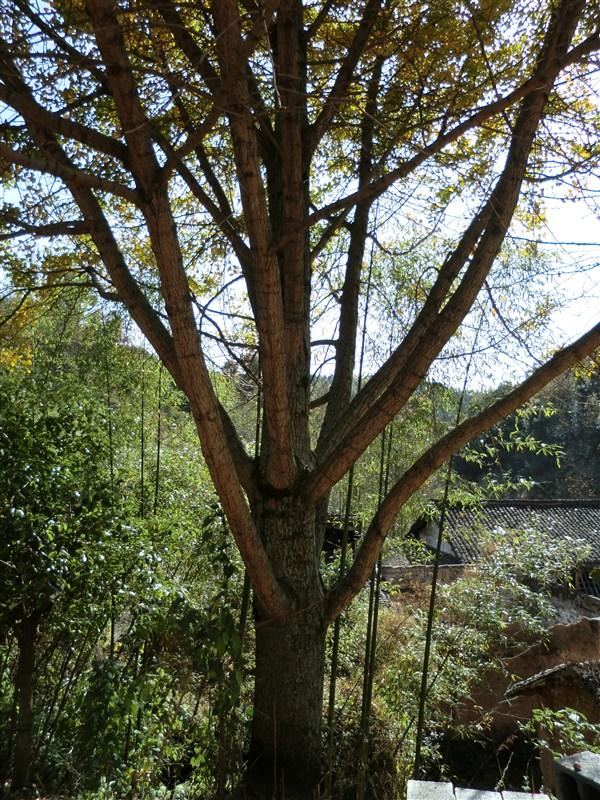 出售自家栽种银杏树3棵有图